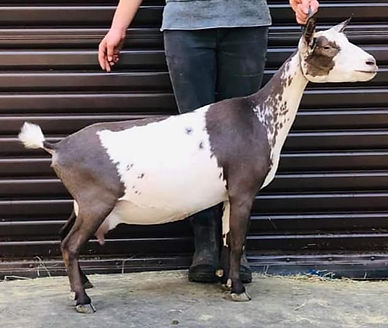Goat Addiction Curly Sue VEVV86.jpg