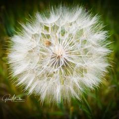 Gloria Moeller, Wallflower Gone to Seed