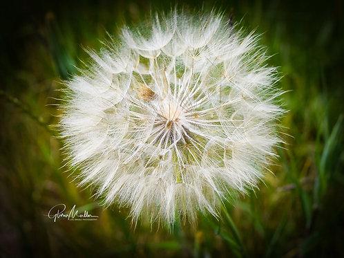 Wallflower Gone to Seed by Gloria Moeller