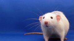 העכבר שסרב למות: כיצד חוסר במימון ציבורי מעכב טיפול מבטיח לסרטן