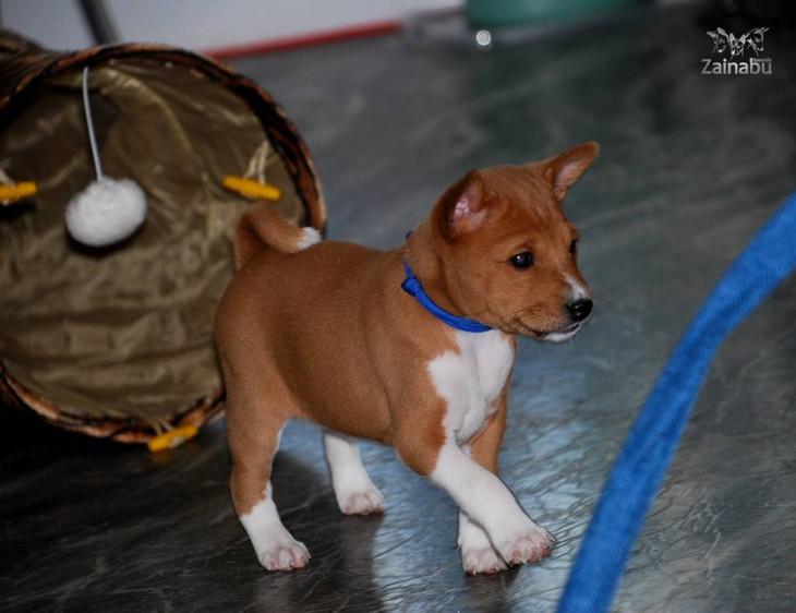 BE team basenji puppy zainabu blue
