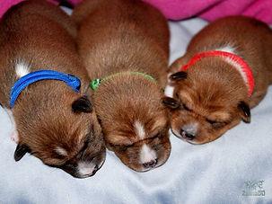 BE team basenji puppy zainabu 03.jpg