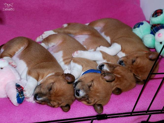 BE team basenji puppy zainabu 202.jpg