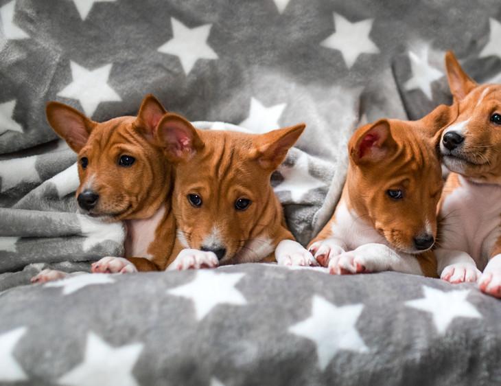 basenji zainabu puppies be-team