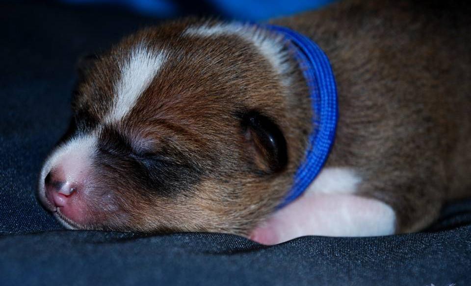 basenji zainabu niebieski - puppy Gentel