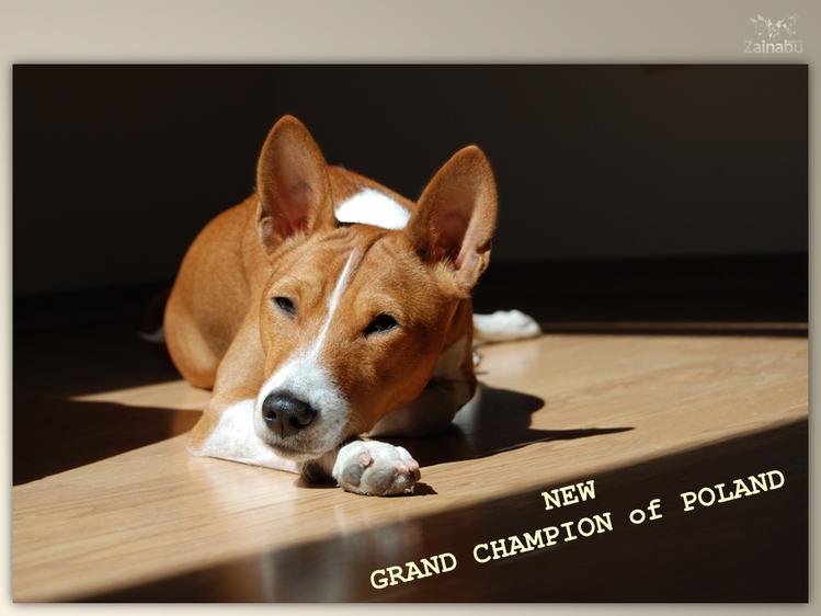 Piersza sunia basenji z tytułem GRAND CHAMPION POLSKI