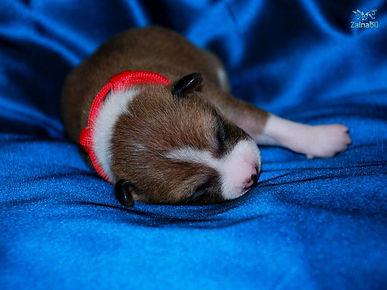 basenji zainabu czerwona - puppy Beauty.