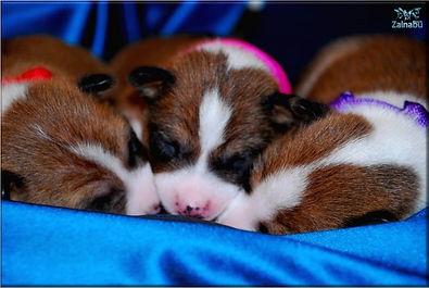 basenji zainabu a-team puppy basenji gir