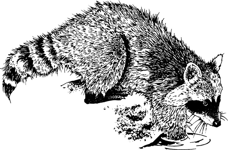 The Racoon: A Totem Animal With A Message
