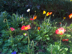Howells-Poppies