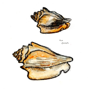 Conch shell original Illustration