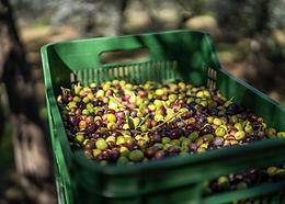 contenitore-pieno-di-olive-appena-raccol