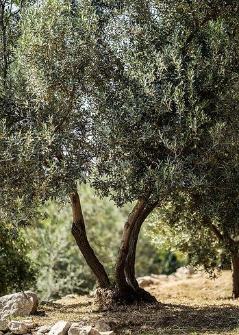 spettacolare-albero-di-olive.jpg