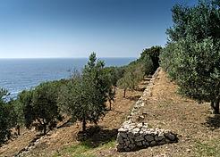 oliveti-di-capri.jpg