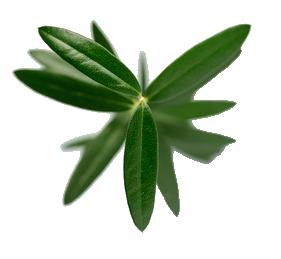 foglie-olivi.png