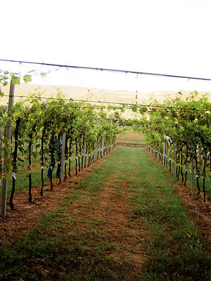 graft, topgraft, grafting, vine, vineyard