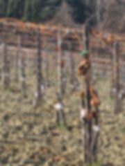 grafted vineyard, graft, grafting, top-graft