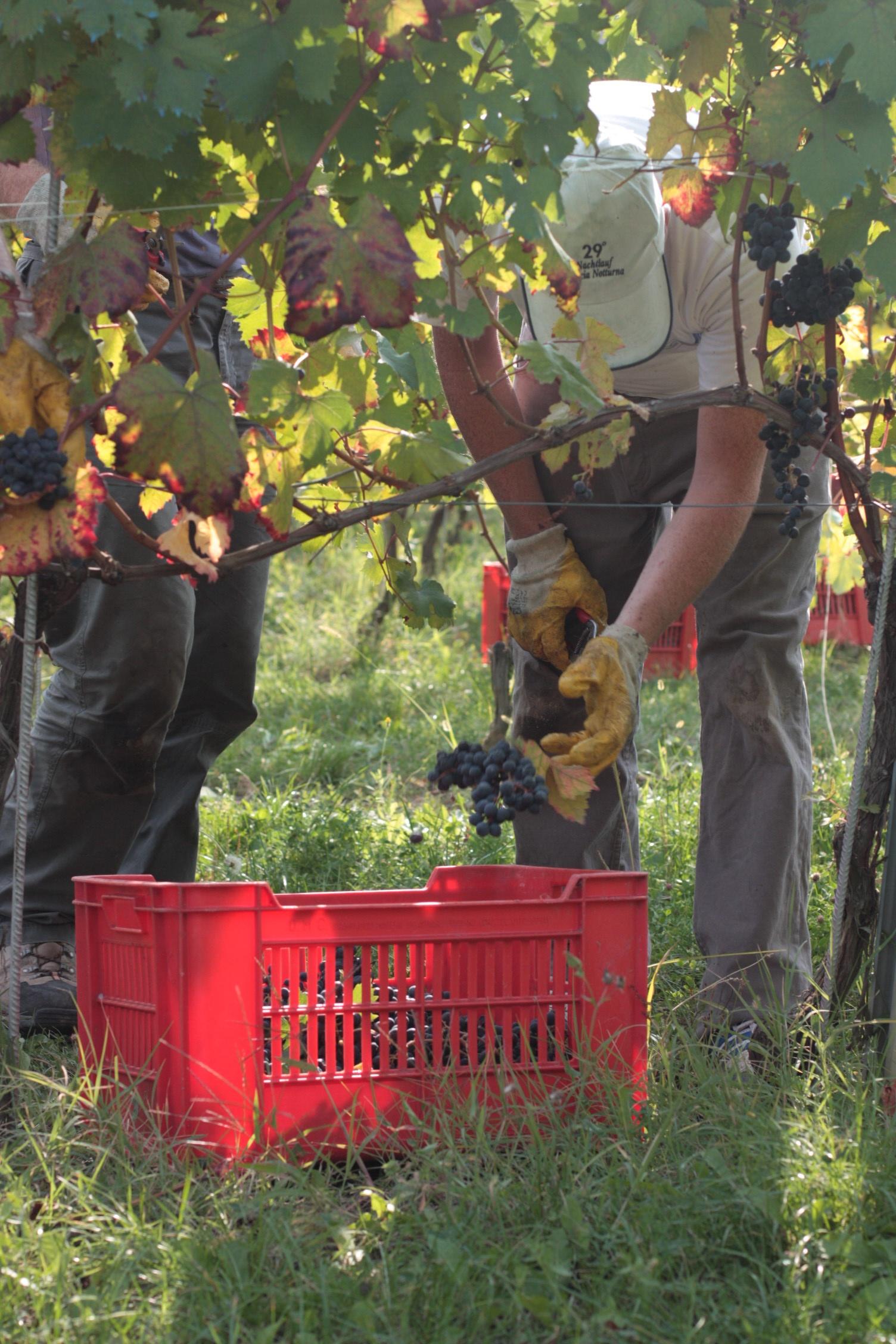 posare l'uva
