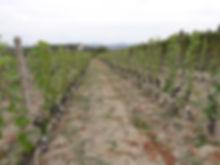 grafting vine, vineyard, graft, top-graft