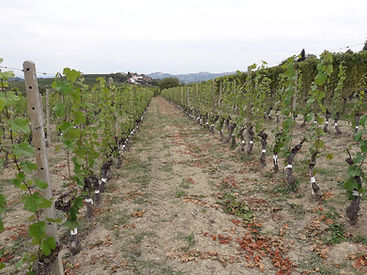 grafting vine, vineyard, graft, top-graft