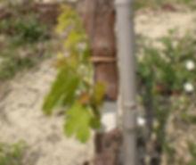 bud, graft, callus, top-graft,  viticulture, vine
