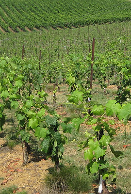 graft vineyad at the first year, graft, top-graft, grafting, vinyard