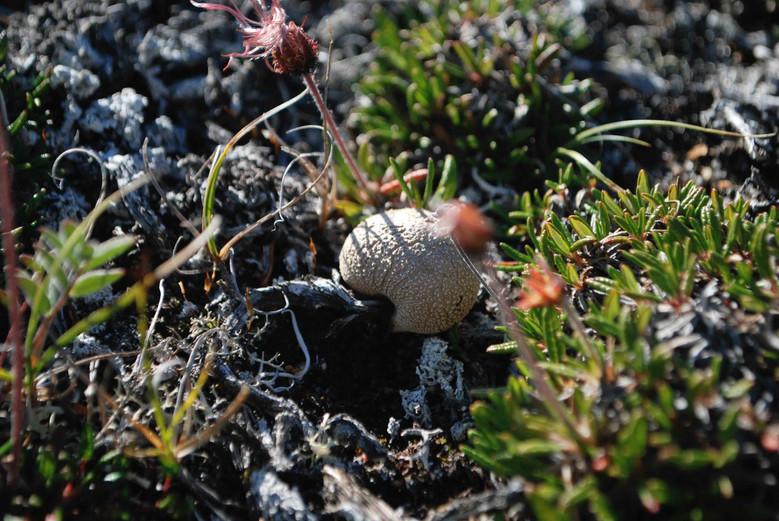 A tundra mushroom. Photo by Brendan Griebel.