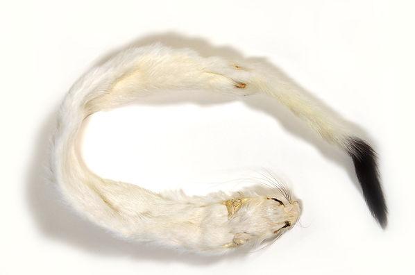 1) weasel skin