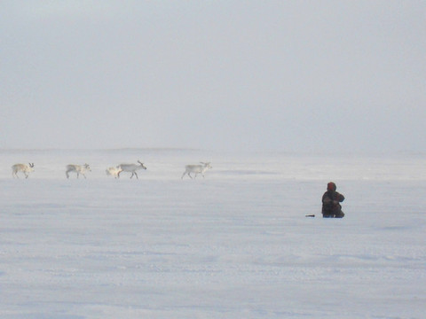 Watching caribou migrate across the sea ice. Photo by Pam Gross.