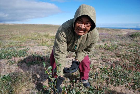Annie Atighioyak harvesting plants near Cambridge Bay. Photo by Brendan Griebel.