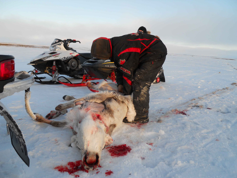 Harvesting a spring caribou. Photo by Pam Gross.
