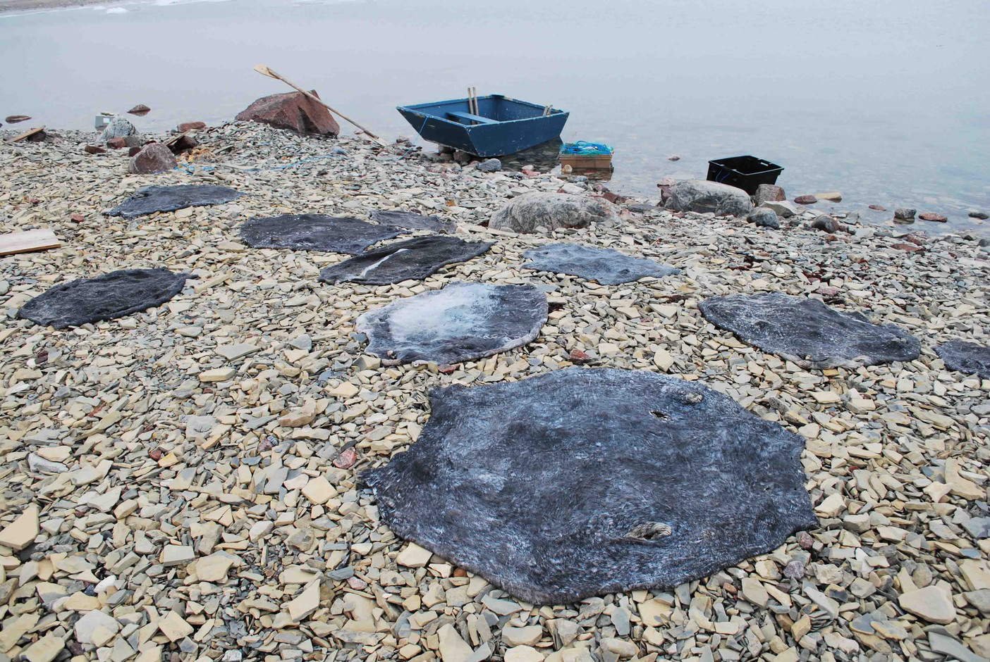 De-haired seal skins are laid out on a beach near Cambridge Bay to dry. Photo by Brendan Griebel.