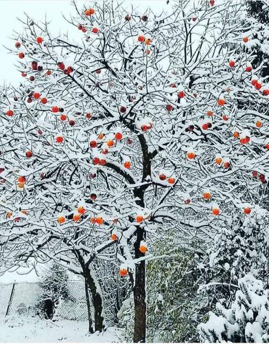 albero con neve.jpg
