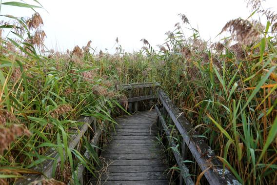 Bro ud til fugleudsigtshytte på Kalvebod Fælled