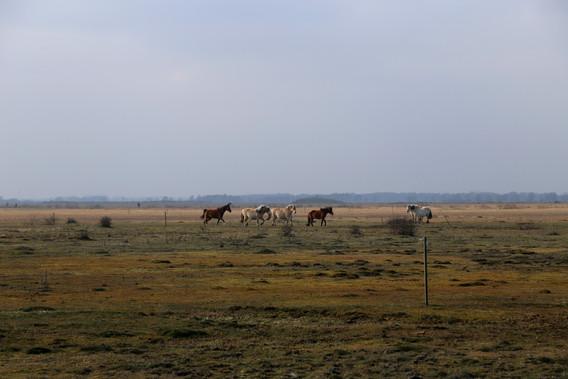 Heste på Kalvebod fælled