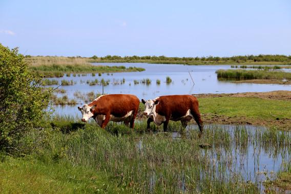 Køer ved Amager Strandenge