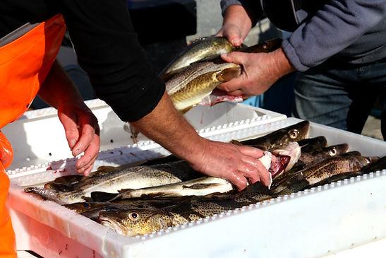 Fiskere-Dragor-Stemmer-fra-amar