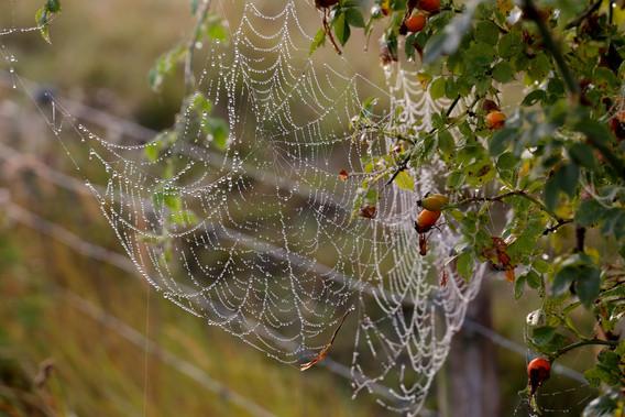 Spindelvæv på Kalvebod Fælled