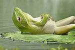 relaxing%20frog%202.jpg