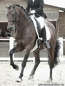 Leistungshengst Candis vM, Deutsches Reitpony im Deckeinsatz über Frischsamen bei Sportprferde Brähler in 36358 Herbstein, Hessen
