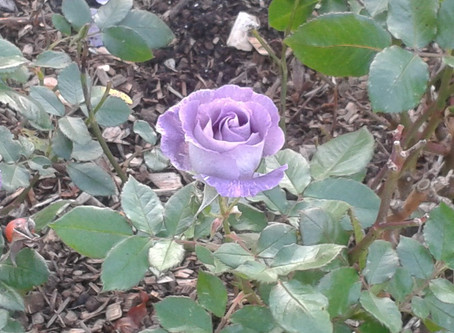 Isabel: The Dark Rose