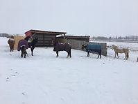 Horses Winter Shelters.JPG