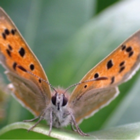 FoPV Walk - Butterflies & their food plants