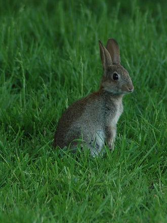 Rabbit control Staffordshire. Rabbit control Cheshire. Rabbit control Shropshire