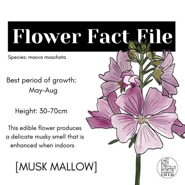 Musk Mallow Flower Fact File