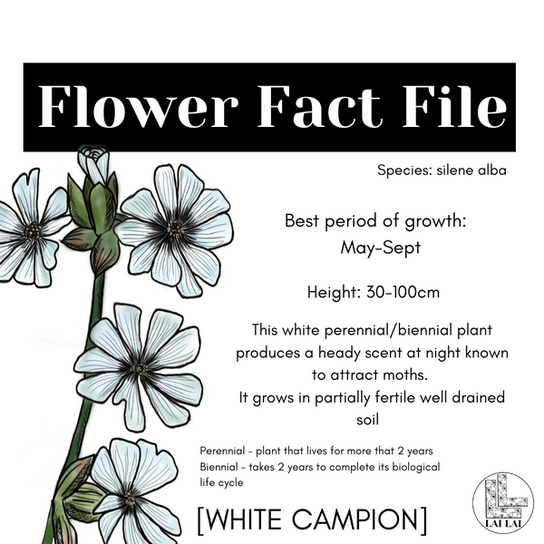 White Campion flower fact file