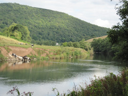 Cattle grazing by River Wye