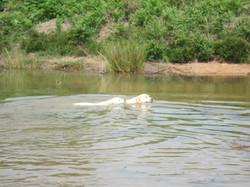 Labradors doing what labradors do!