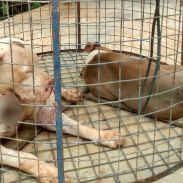Pit bulls são encontrados feridos dentro de jaulas e sem comida, homem foi preso em Goiás