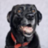 Dog portrait of Breaca the Black Labrador, hand drawn in pastels by pet portrait artist Naomi Jenkin